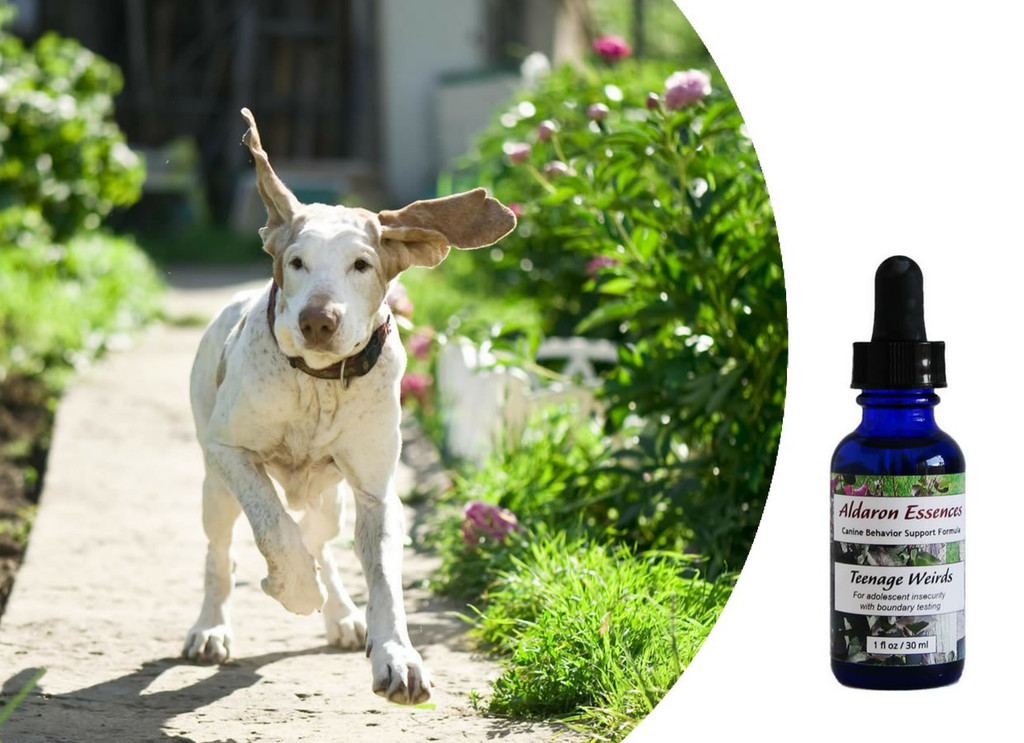 Flower essences for dogs:  adolescent insecurity with boundary testing