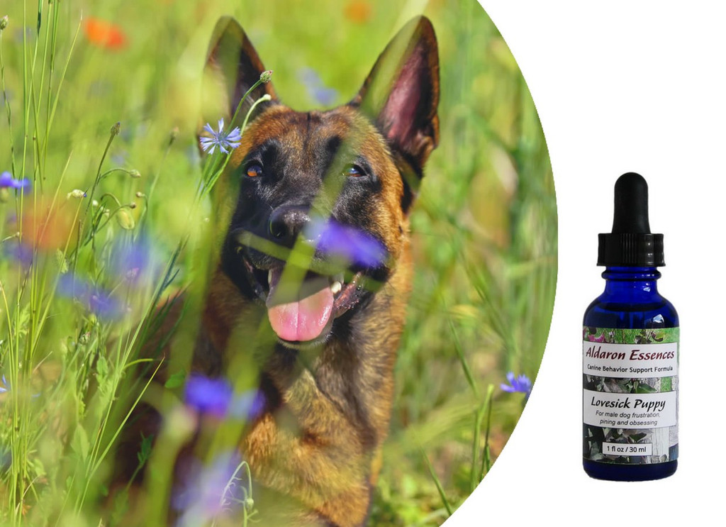 Flower essences for male dog frustration, pining & obsessing