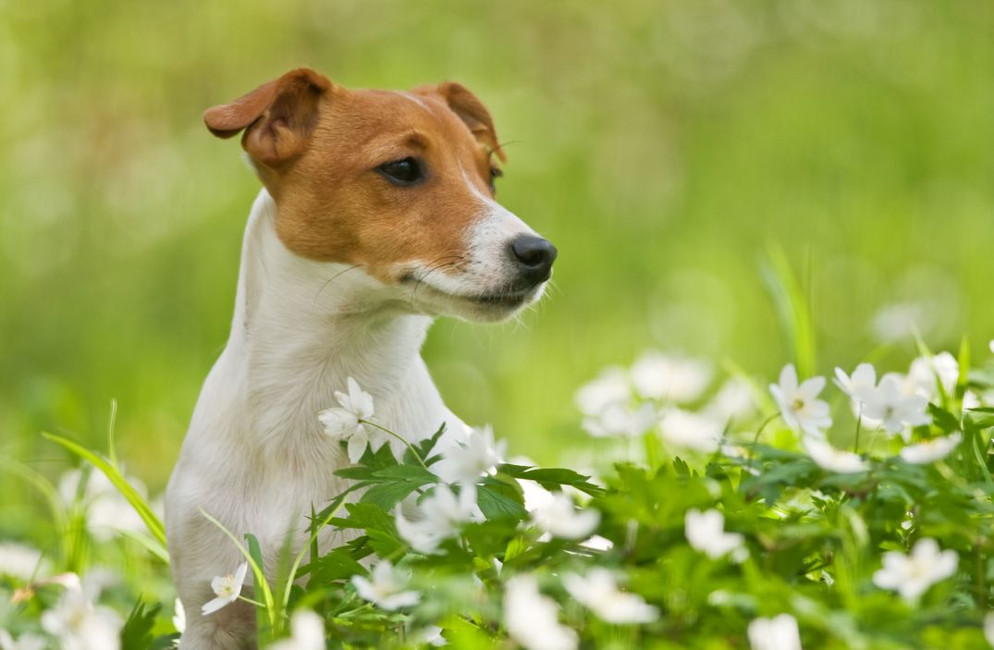 Bach Flower Remedies for Dogs: Create Your Own Blend (Guide and FAQ)