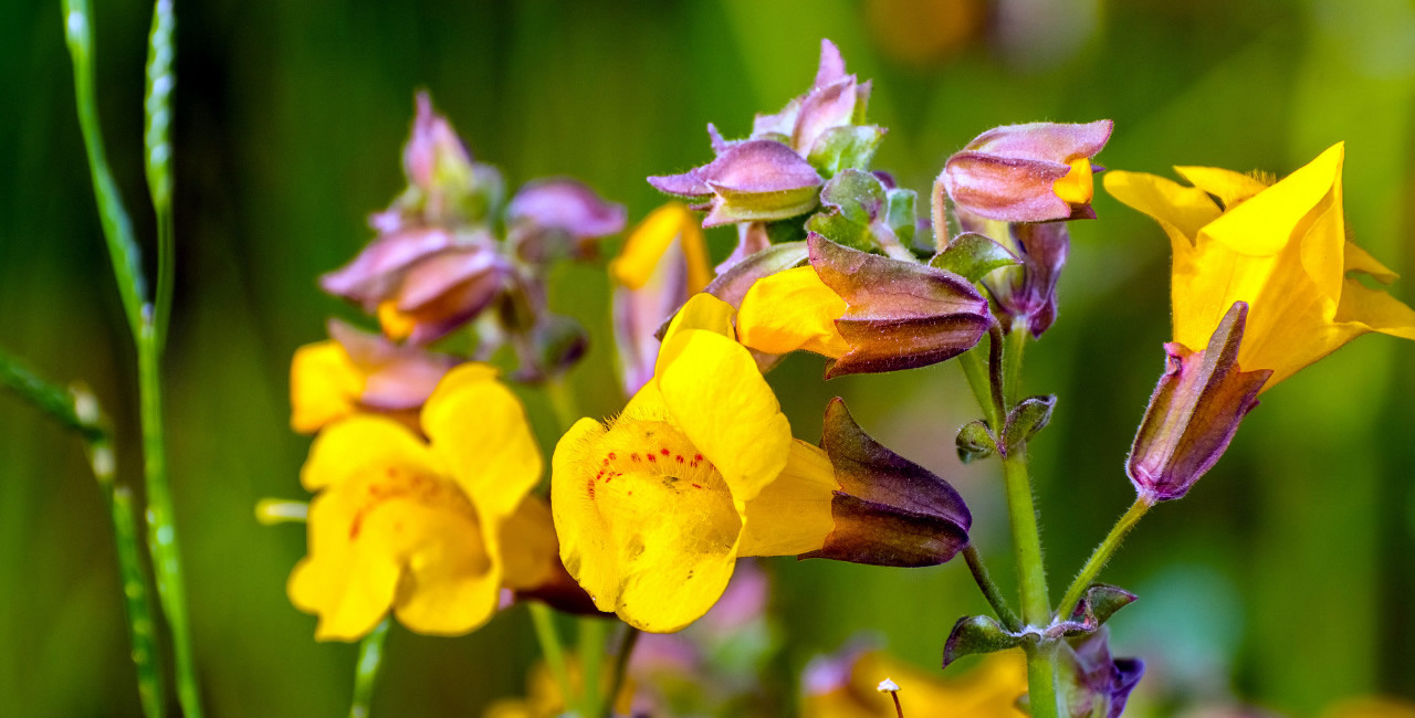 Mimulus Bach Flower Essence for Fearful, Anxious Dogs