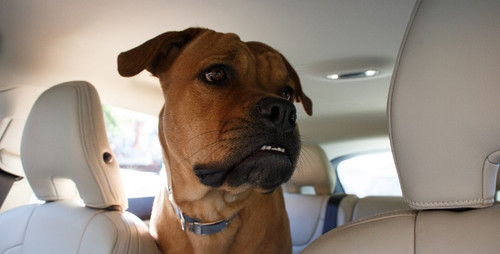 When Your Dog Hates the Car: Tips, Training, Remedies