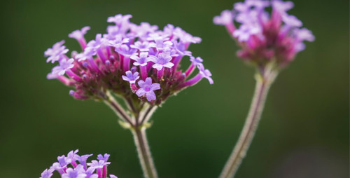 Vervain Flower Essence for Intense, High-Strung Dogs