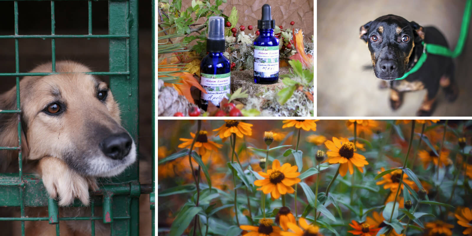 Flower essences for dogs: anxiety, fear, panic
