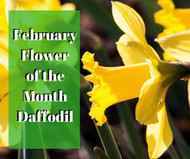Daffodils: February 2018 Flower of the Month