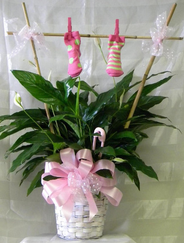 New Baby Girl Plant Gift with Clothesline and Booties from Enchanted Florist. Oh Yes, It's a Girl! Now help keep some booties on those precious feet. Arriving on the doorstep will be this green plant decorated for a new baby girl with a bamboo trellis and one pair of baby girl booties. RM318