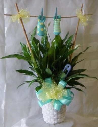 New Baby Boy Plant Gift with Clothesline and Booties from Enchanted Florist. Arriving on the doorstep will be this green plant decorated for a new baby boy with a bamboo trellis and one pair of baby boy booties. RM317 Same day delivery to all Houston area hospitals including Womens Hospital of Texas.