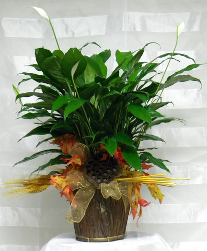 Fall Peace Lily Green Plant by Enchanted Florist Pasadena TX - a lovely peace lily also know as a closet plant decorated in fall colors with wheat, fall leave, and a lotus pod. RM403