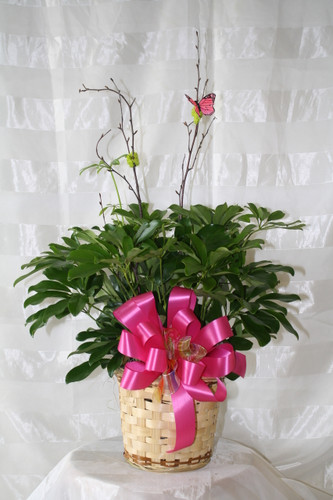 Sensational Schefflera Green Plant Small Hawaiian from Enchanted Florist. Also known as the umbrella plant or arbicola due to its lovely arching leafy branches, it makes an amazing gift. It can last for years and lend its graceful beauty to any home or office. Includes birch branch and butterfly. Colors of ribbons will vary. SKU RM418