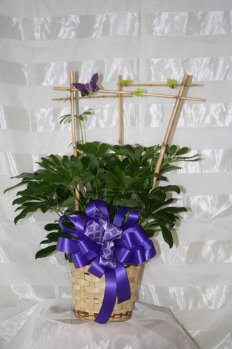 Hawaiian Schefflera Plant with Bamboo Armature - Small from Enchanted Florist. This lovely plant comes enclosed in a bamboo armature and includes a butterfly lifting the spirits of those in it's path. A perfect statement for any home or office. Colors of ribbons will vary. Same day delivery on decorated green plants by Enchanted Florist Pasadena TX SKU RM413