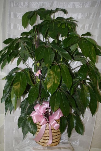 Large Amazingly Amate Schefflera Green Plant from Enchanted Florist Pasadena TX. We deliver green plants to Houston hospitals and funeral homes. Order now for same day delivery in Webster TX. RM428