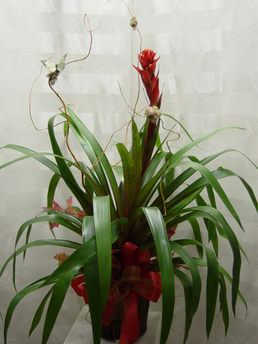 Tropical Plant Bromeliad in Basket from Enchanted Florist. An exotic plant your someone is sure to love. A nicely decorated bromeliad with curly willow arrives in an attractive wicker basket. A butterfly can even be found hiding. Variety and color of bromeliad plant may vary.  SKU RM408