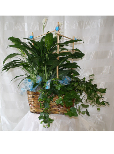 Gorgeously Green Plant Double Basket Garden with Bamboo by Enchanted Florist - green potted plants all together in a basket decorated and ready for same day delivery in Houston Medical Center and surrounding areas. RM425