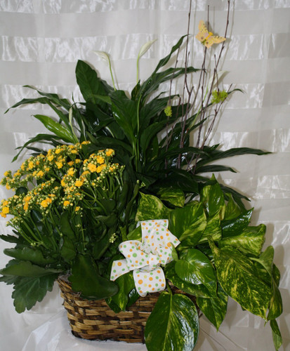 Basket of Grandeur Blooming Garden by Enchanted Florist - Funeral plants, flowering plants, potted plants all with same day delivery. Freindswood TX Green Pland Delivery. RM431