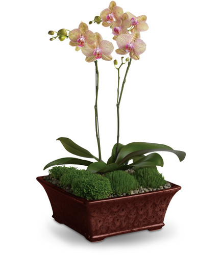 Doubly Divine Orchid Plants by Enchanted Florist Pasadena TX. Orchid plants delivered daily in Houston TX, Deer Park TX and surrounding areas. RM450