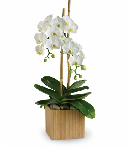 Elegant Opulent Orchid Plant by Enchanted Florist TX. Orchid flower delivery in Houston TX and surrounding areas by a real flower shop. Have your white or purple orchid plant delivered today! RM449