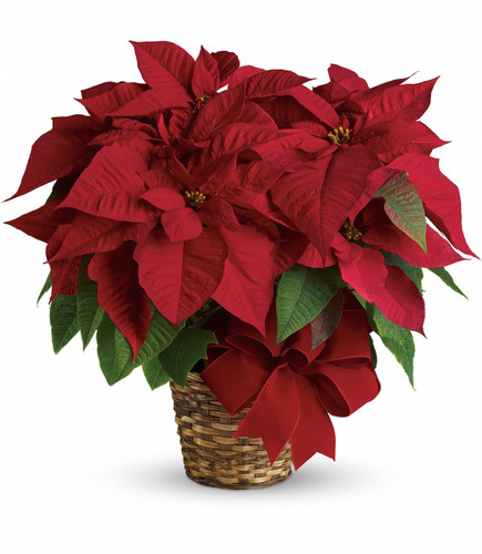 """The red poinsettia has been a holiday favorite for generations…and for a very good reason. It practically screams """"Merry Christmas!""""  A red poinsettia is delivered in a natural basket that is wrapped with a beautiful red velvet ribbon. A timeless classic! Approximately 23 1/2"""" W x 22 1/2"""" H"""