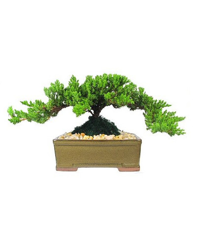 """Japanese Juniper Bonsai Tree from Enchanted Florist.  This is a medium 5-7 year old Japanese Juniper Bonsai Tree. Planted in an 8"""" ceramic container. Bonsai Tree averages 10-12 inches tall with 10-14 inch spread. RM710  Buy Bonsai Tree in Houston Pasadena TX area."""