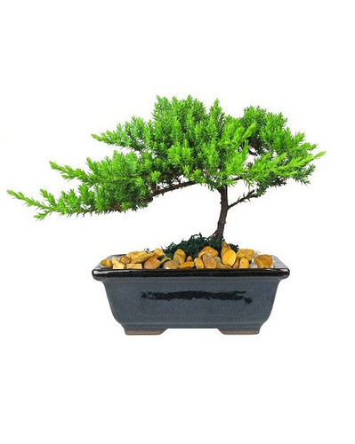 """Small Japanese Juniper Bonsai Tree from Enchanted Florist.  This is a small 4-5 year old Japanese Juniper Bonsai Tree. Planted in an 6"""" ceramic container. Bonsai Tree averages 8-10 inches tall with 8-10 inch spread. The container will vary from the picture. RM711  Buy Bonsai Trees in Houston for delivery. Bonsai tree delivery by real flower shops in Pasadena TX"""
