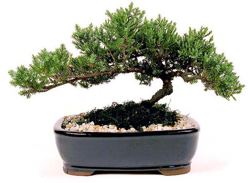"""Japanese Juniper Bonsai Tree from Enchanted Florist.  This is a medium 7-9 year old Japanese Juniper Bonsai Tree. Planted in an 10"""" ceramic container. Bonsai Tree averages 12-14 inches tall with 18-22 inch spread. Your best place bonsai Houston dealer. RM718"""