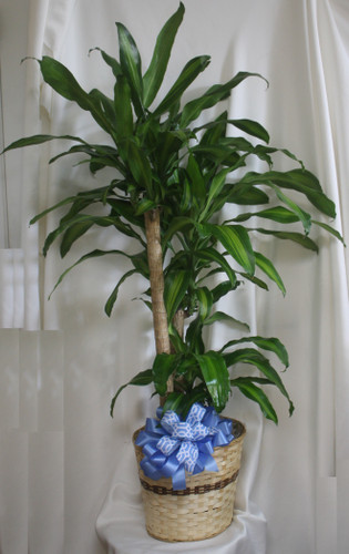 "Large Dracaena Mass Cane Corn Plant Tree from Enchanted Florist. A corn plant, or mass cane is beautiful and easy to care for. This slow-growing beauty is one of the most effective plants at removing room toxins. This plant is great for the indoors as it tolerates a wide range of conditions.  Approximately 60""H x 60""W.   SKU RM405"