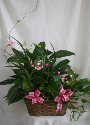 Pretty in Pink Double Basket of Green Plants from Enchanted Florist. The classic peace lily, or spathiphyllum plant  plus a pothos ivy in a double basket for double the gift. It includes fun pink decorations and will impress any pink lover. SKU RM407
