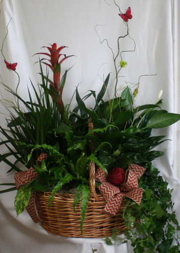 "Extra Large European Garden Basket with Bromeliad from Enchanted Florist. This beautiful basket includes 6 plants total, including a tropical bromeliad plant plus five other various green plants. Each one different and selected for their color and texture. Your basket will arrive decorated similar to shown in the picture with bows, branches, and butterflies. SKU RM455 Approximate size is 30""W x 34""H"