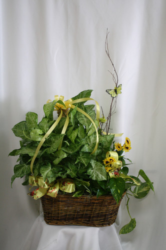 """Double Basket of Green House Plants from Enchanted Florist. Our beautiful and luscious double basket of two green house plants arrives in a wicker basket and is accented with various ribbons and branch with a butterfly flying about.  Approximately 26""""H x 22""""W SKU 456"""