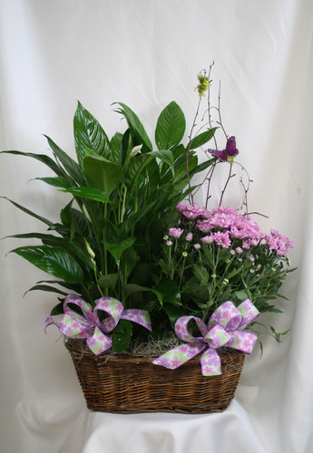 "Blooming Mum and Green House Plant Double Basket from Enchanted Florist. Our beautiful and luscious double basket with one green house plant and one blooming plant arrives in a wicker basket and is accented with various ribbons and branch with a butterfly flying about.  Approximately 26""H x 22""W SKU 457"