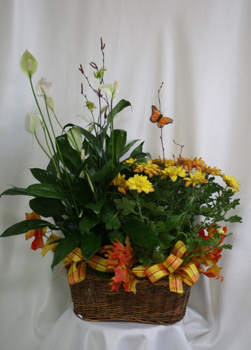 "Fall Mum and Green Plant Double Basket from Enchanted Florist. A lovely double basket that will include a fall colors mum (exact plant may vary) and a luscious green plant in a basket decorated with fall leaves, matching ribbons, and a butterfly flying high. Approximately 26""H x 22""W SKU RM460"