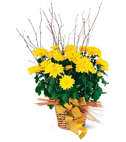 """Yellow Fall Mum blooming Plant from Enchanted Florist. This bright yellow chrysanthemums adorned with birch provides long-lasting hope. One yellow chrysanthemum plant arrives in a natural basket with fall-themed trim. Approximately 14"""" W x 28"""" H SKU RM465"""