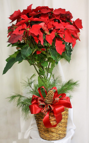 "Xtra Large Red Poinsettia Tree 10"" by Enchanted Florist. A large red poinsettia tree is delivered in a 10"" natural container that's all wrapped up with a beautiful red taffeta ribbon. It's a beautifully traditional gift - with a sizable difference! Approximately 22"" W x 42"" H SKU RM275"