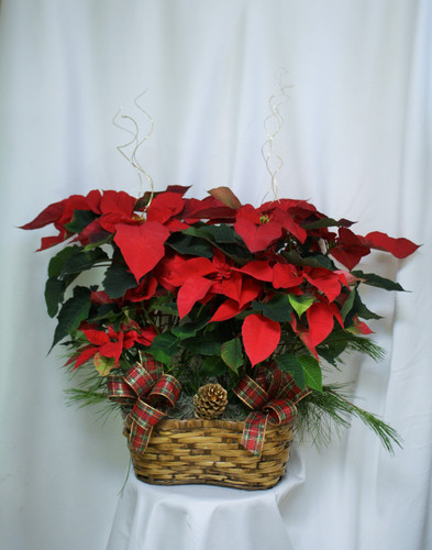 "Double Basket of Red Poinsettias by Enchanted Florist. Two red poinsettias in a basket and magically decorated are hand delivered by your real florist. It's a beautifully traditional gift - with double the fun! Approximately 26"" W x 26"" H SKU RM276"