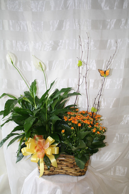 Blooming Plant Double Basket Garden by Enchanted Florist Pasadena TX - peace lily green plant and blooming kalanchoe plant altogether in one basket decorated with butterfly available for same day delivery in Houston TX and surrounding areas. RM423