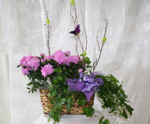 Blooming Azalea Double Basket Garden by Enchanted Florist - Potted plants and blooming gardens with same day delivery. This garden contains a flowering azalea and green ivy. Pearland Green Plant Delivery RM424