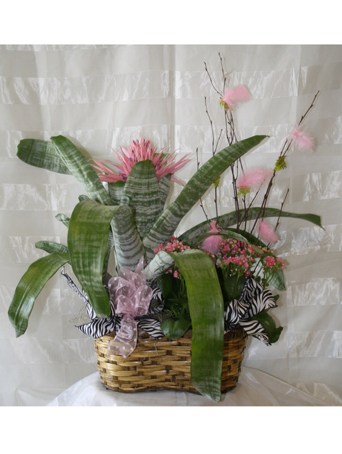 Pink Cosmo Tropical Bromeliad Basket is sure to stand out!! This show stopping combo of pink kalanchoe blooming plant and pink bromeliad tropical plant is accented with zebra print ribbons and pink feathers so watch out! Same day plabt delivery to Houston Medical Center and surrounding areas. RM438