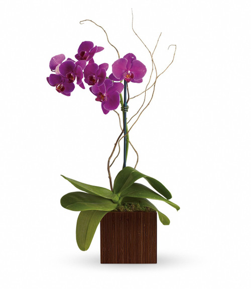 Elegant Purple Orchid Planter by Enchanted Florist Pasadena TX - a beautiful royal purple orchid for a beautiful friend hand delivered by a real florist. Same day delivery in Houston TX, Clear Lake TX, Webster, TX, Deer Park, TX and surrounding areas. RM451