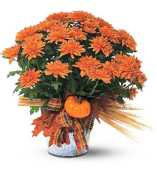 Blooming Plant with Fall Decorations by Enchanted Florist. A beautiful blooming plant, with its warm fall colors, will be remembered long after the season is gone. Perfect for fall decorating, indoors or out. Send to a family member to celebrate a birthday, a friend for a get well, or to yourself to decorate your home or office for the fall season. SKU: RM452