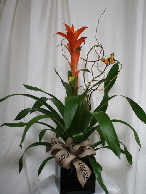 Tropical Bromeliad Plant in Black Cube from Enchanted Florist. The bromeliad is a hardy, easy to care for plant and will delight the day of the recipient. One of our most popular green plants, our bromeliad arrived in this black cube and is accented with ribbons, branches and butterfly.  SKU RM401
