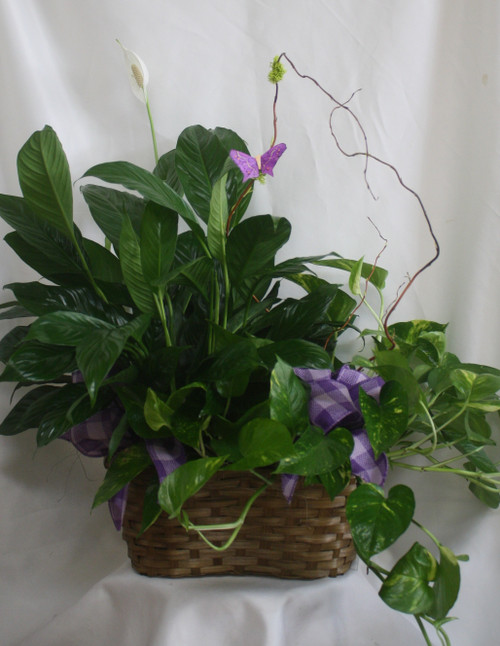 Closet Plant & Pothos Ivy Double Basket from Enchanted Florist. Your plant gift will arrive with a closet plant (aka peace lily) and a pothos ivy in a wicker double basket decorated with bows and a butterfly. SKU RM441