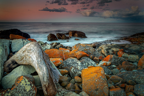 Orange lichen on the rocks are vibrant against a backdrop of the ocean at Falmouth Tasmania