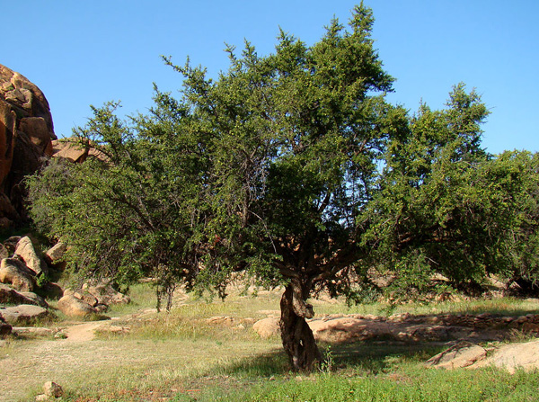 Argan tree in Morocco