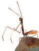 Copper Praying Mantis Garden Stake