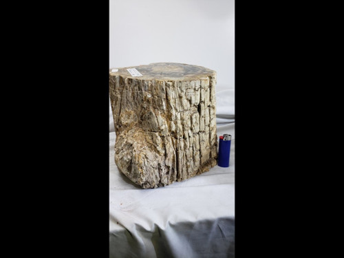 Very Large Petrified Wood Log / Stump - Polished Top