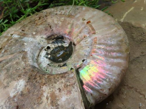 Natural XL Iridescent Ammonite Specimens